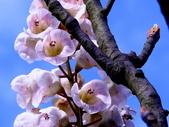 鐘萼木♥♥:鐘萼木15
