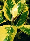 斑葉高山榕:斑葉高山榕12