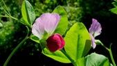 香豌豆:香豌豆03.JPG