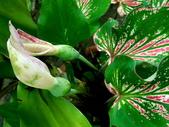 粉紅佳人彩葉芋♥♥:粉紅佳人彩葉芋10