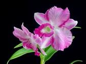 石斛蘭♥♥:石斛蘭4