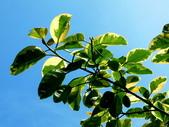 斑葉高山榕:斑葉高山榕3