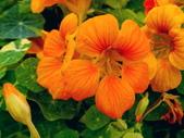 金蓮花:金蓮花6