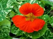 金蓮花:金蓮花10