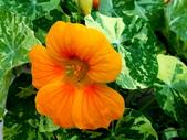 金蓮花:金蓮花8