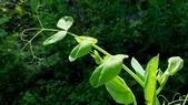 香豌豆:香豌豆01.JPG