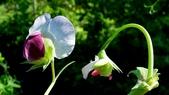 香豌豆:香豌豆05.JPG