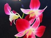 石斛蘭♥♥:石斛蘭8
