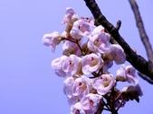 鐘萼木♥♥:鐘萼木14