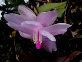 螃蟹蘭(蟹爪仙人掌):螃蟹蘭7