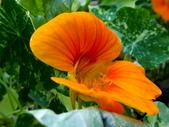 金蓮花:金蓮花11