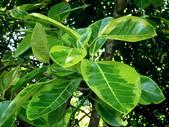 斑葉高山榕:斑葉高山榕6