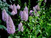 澳洲狐尾草:澳洲狐尾草1