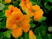 金蓮花:金蓮花5