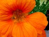 金蓮花:金蓮花12