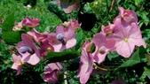 紫洋傘花:紫洋傘花07.JPG