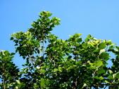 菩提樹:菩提樹02.jpg