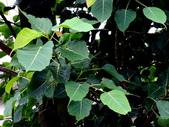 菩提樹:菩提樹06.jpg