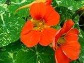 金蓮花:金蓮花3