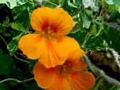 金蓮花:金蓮花7