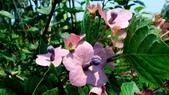 紫洋傘花:紫洋傘花06.JPG