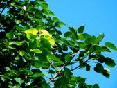 菩提樹:菩提樹04.jpg