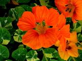 金蓮花:金蓮花9