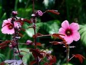 紅葉洛神葵(紅葉槿):紅葉洛神葵3
