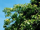 斑葉高山榕:斑葉高山榕1
