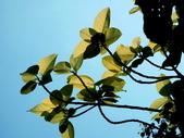 斑葉高山榕:斑葉高山榕4