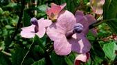 紫洋傘花:紫洋傘花04.JPG