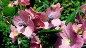 紫洋傘花:紫洋傘花05.JPG