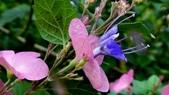 紫洋傘花:紫洋傘花12.JPG