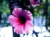 紅葉洛神葵(紅葉槿):紅葉洛神葵5