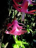 螃蟹蘭(蟹爪仙人掌):螃蟹蘭16