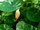 金蓮花:金蓮花2