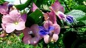 紫洋傘花:紫洋傘花11.JPG