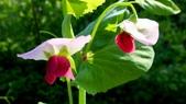 香豌豆:香豌豆04.JPG