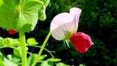 香豌豆:香豌豆09.JPG