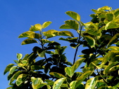 斑葉高山榕:斑葉高山榕2